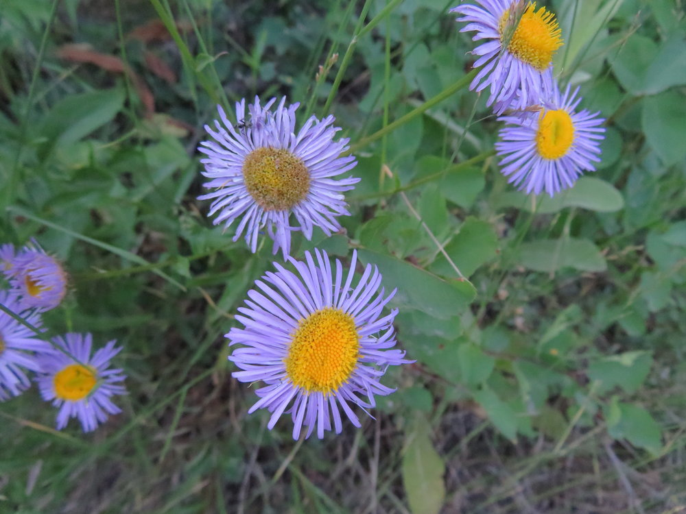 Purple western asters