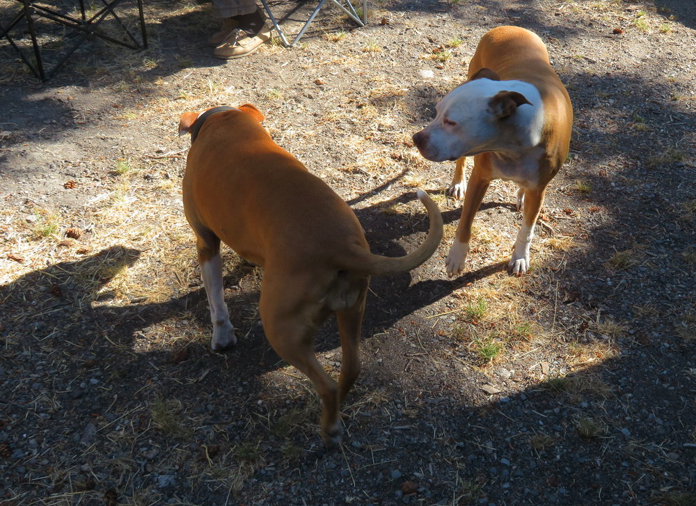 A pit bull greeting at Canyon Campground