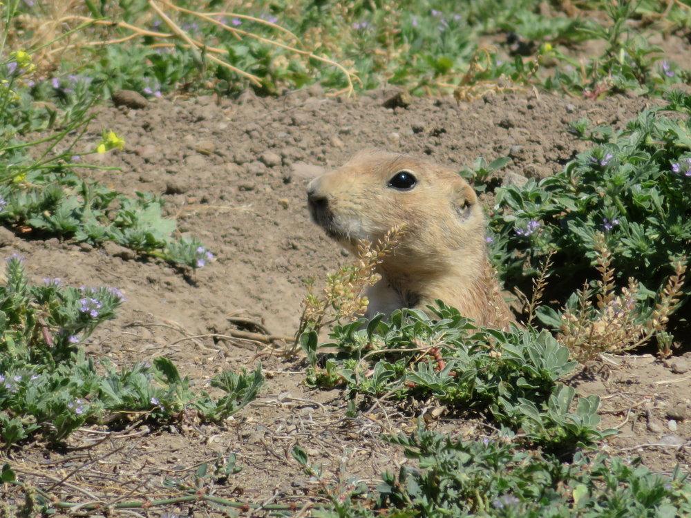 montana greycliff prairie dog.JPG