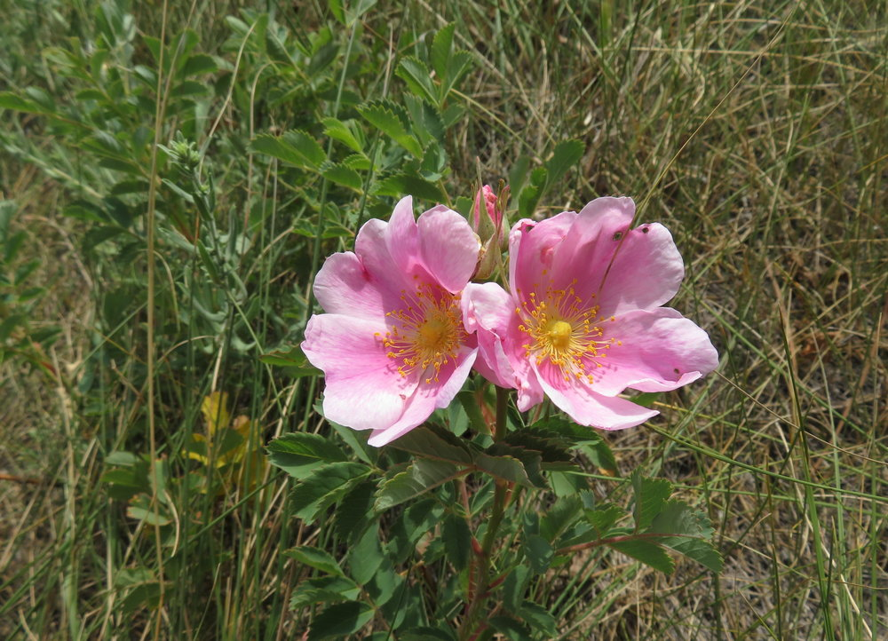 Last wild rose of the season