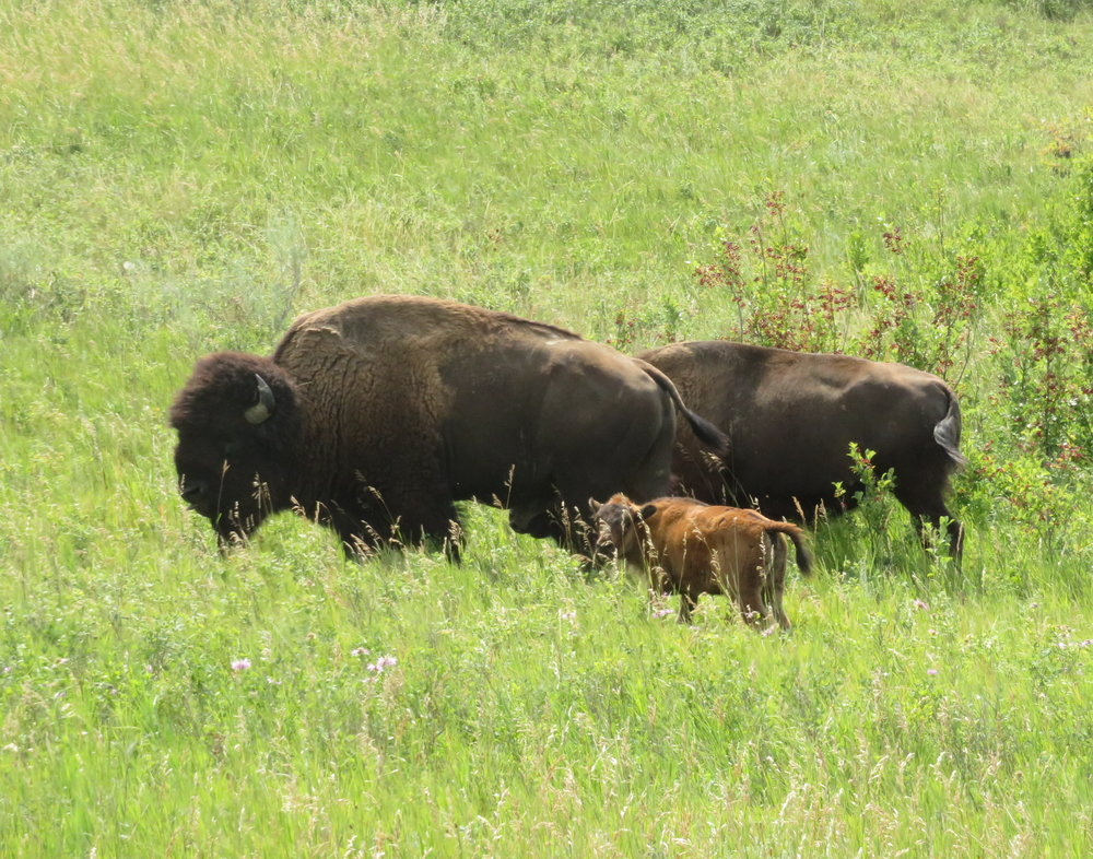 A couple of bison cows were ambling along close to the road with a frisky calf in tow.