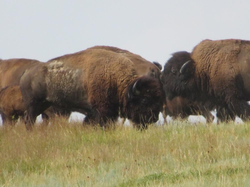 Give me a home, where the buffalo roam ...