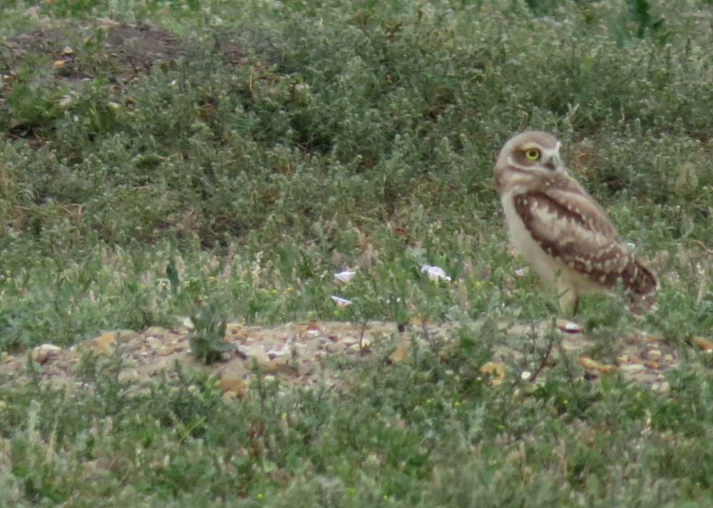 TRNP_south_burrowing owl.JPG