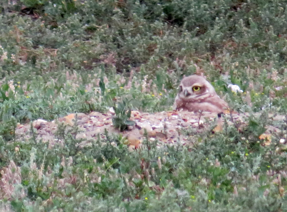 TRNP_south_burrowing owl1.JPG