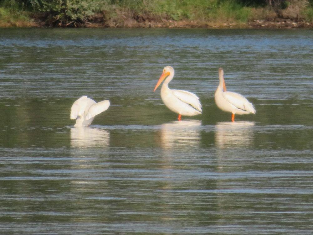 pelicans in the missouri river