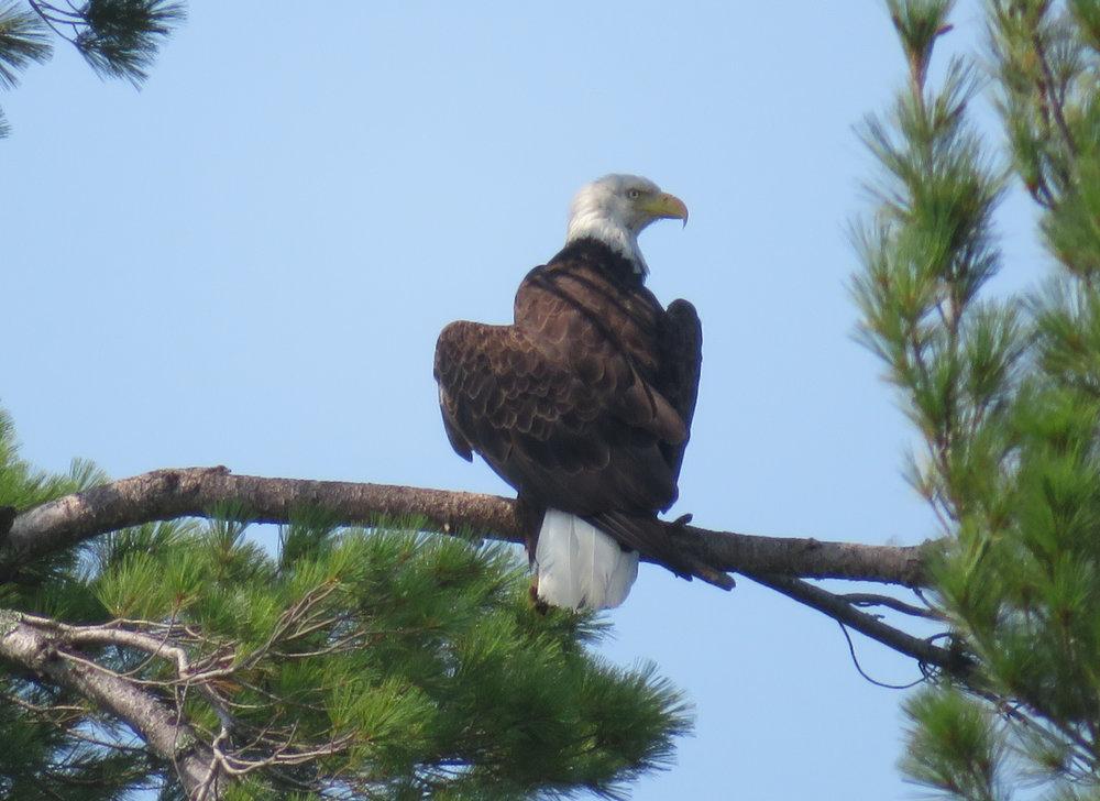 Rainy Lake - Bald Eagle
