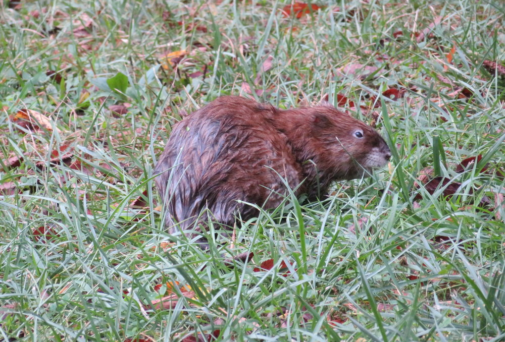 We startled a fat muskrat who hightailed it back to the refuge of the Williams Pond.