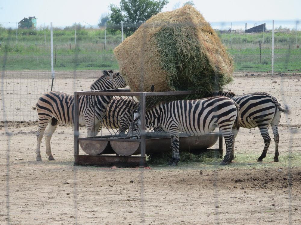 Zebras in Colorado?