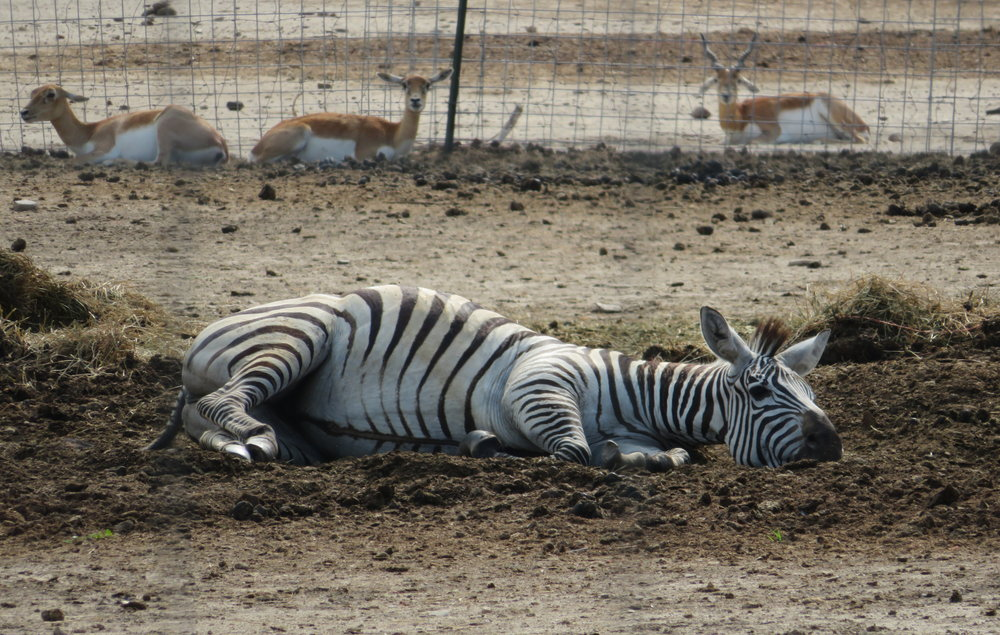 Gazelles, too?