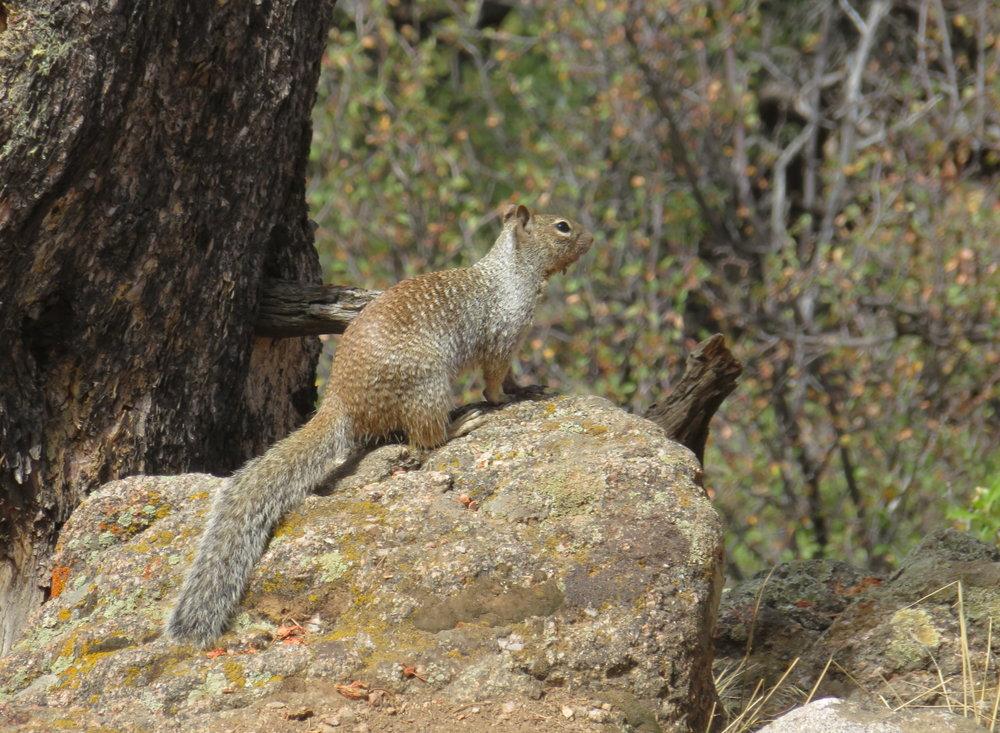 Western gray rock squirrel