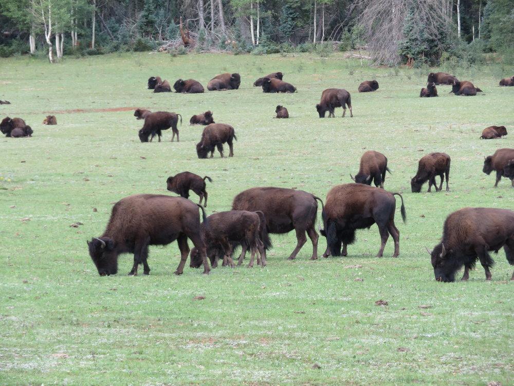 grandcanyon_buffalo herd.JPG