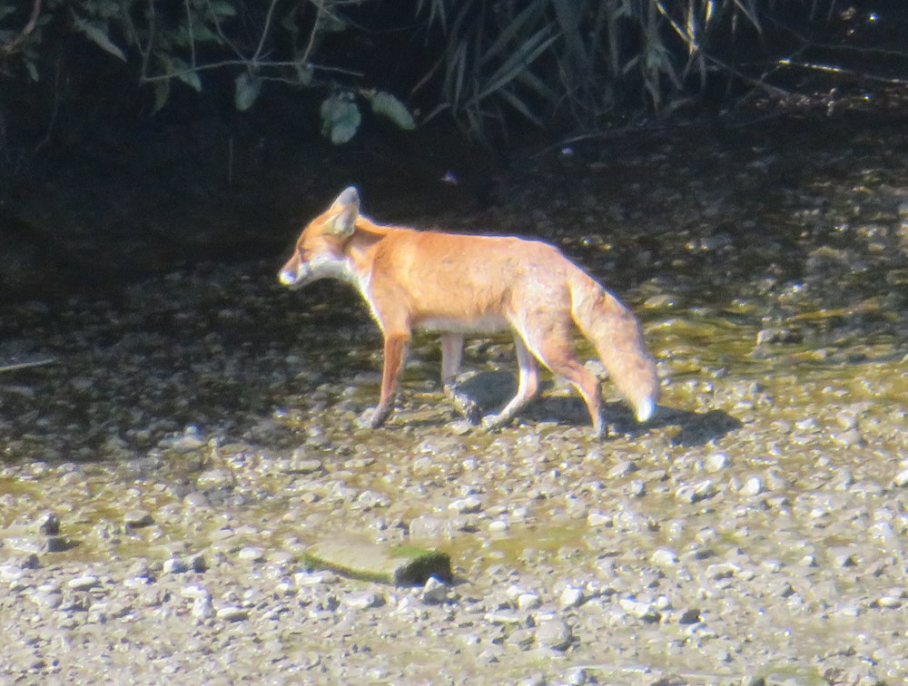 Our attention was quickly diverted when a fox suddenly popped out of the bush and trotted along the riverbank.