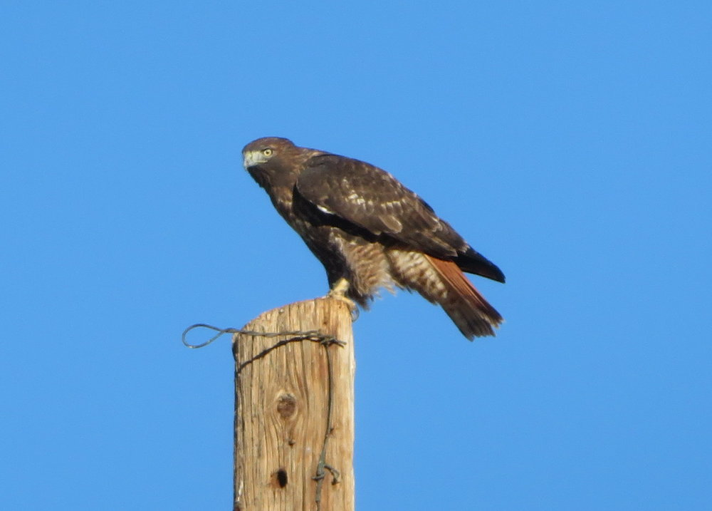 Golden eagle or red-tailed hawk?