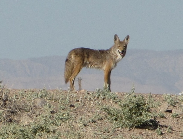 We frequently see coyotes on our morning walk.