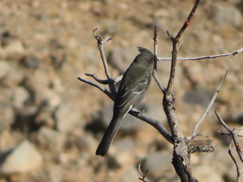 Female silky flycatcher