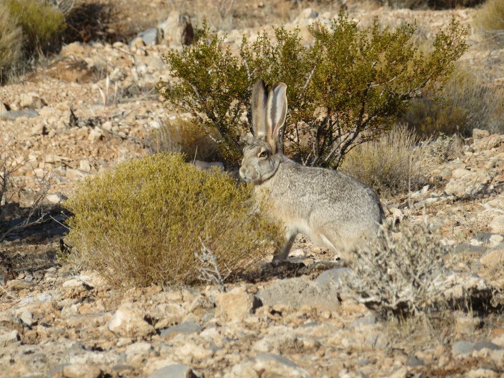 Black-tailed desert jack