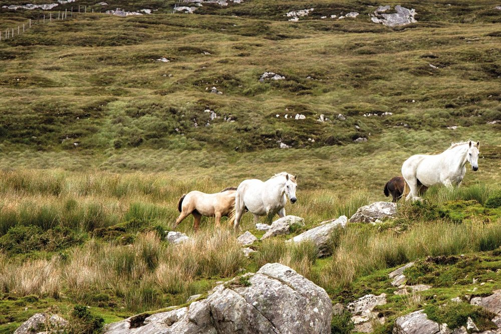 Connemara ponies graze at the Glenbricken Farm land