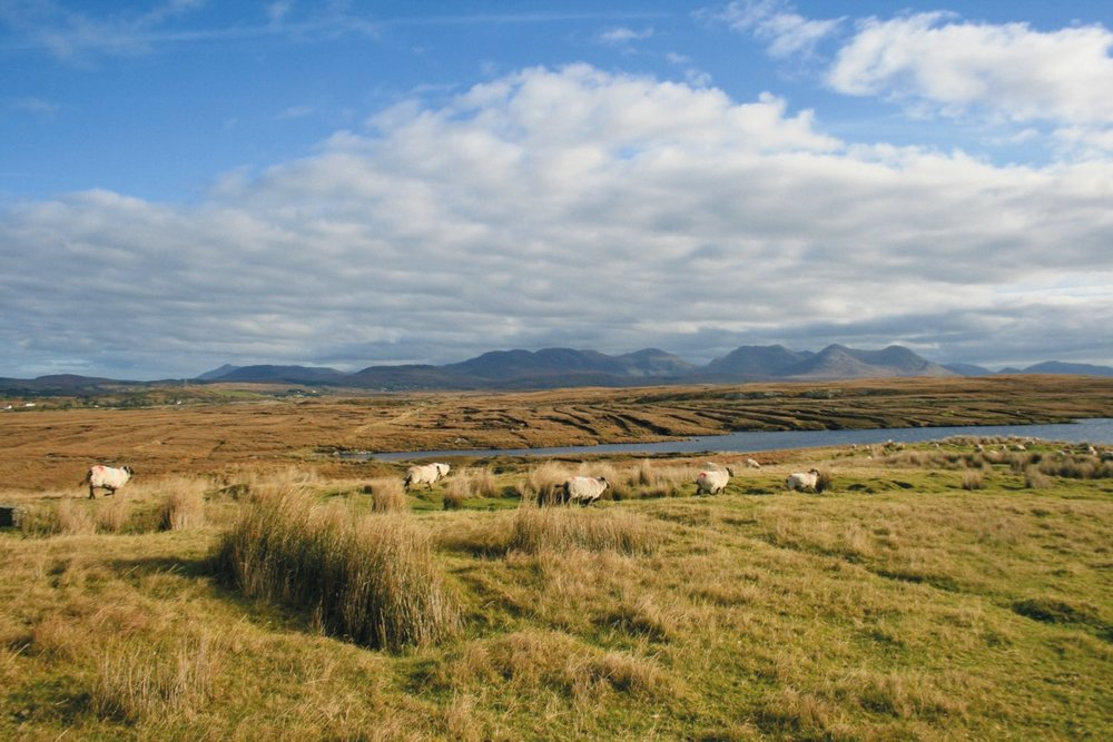 Sheep graze on the Derrygimlagh boglands.
