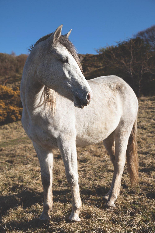 connemara-life-connemara-pony-3.jpg
