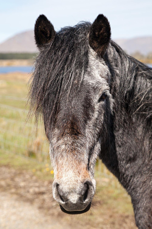 connemara-life-connemara-pony-40.jpg
