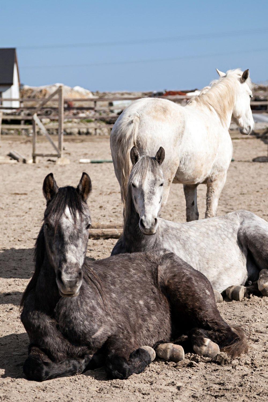 connemara-life-connemara-pony-42.jpg