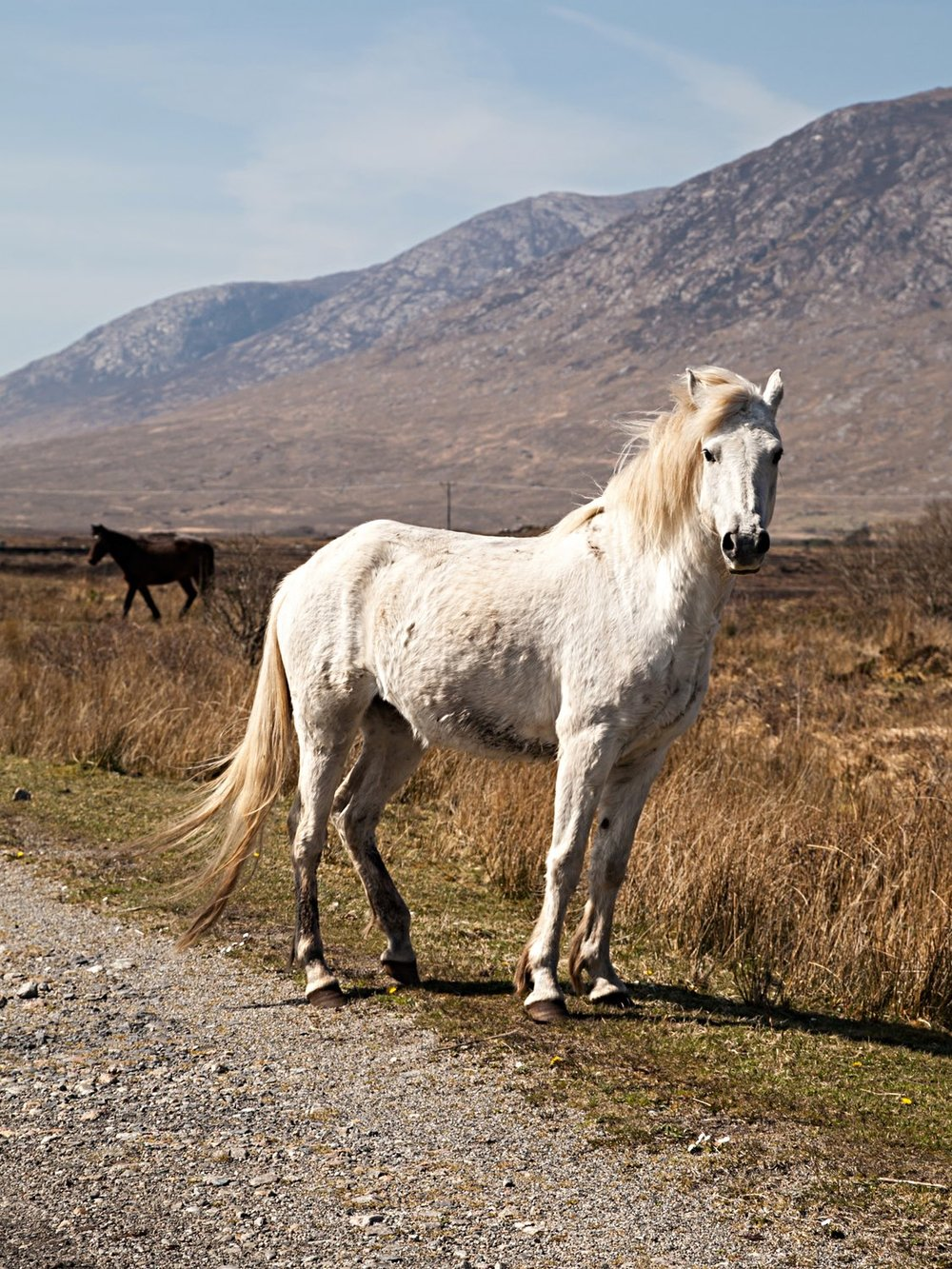 Connemara Ponies on the gravel track