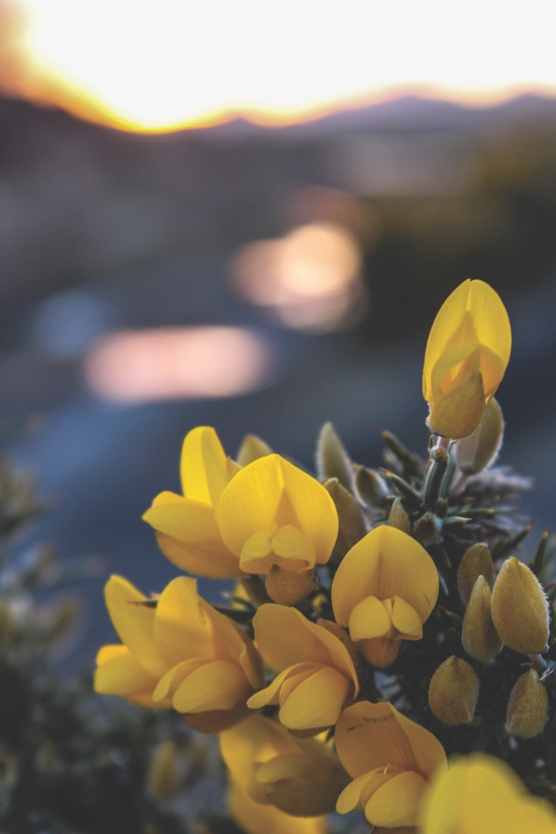 Wild gorse flowers photographed near Clifden as the sun was setting – Photo by Cathy Gill