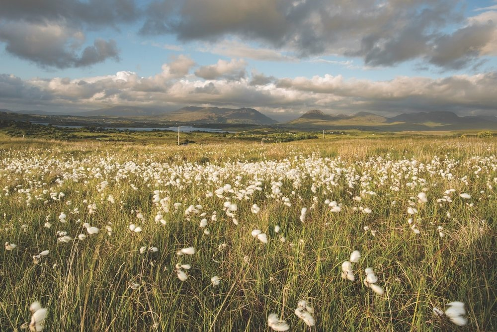 Cotton-carpeted hills of the bog overlooking Moyard – Photo by Mark Furniss Photography