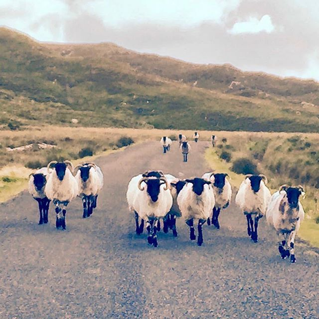 You never know who you might meet in #Connemara! 🐏🐑 #Repost @allworldjourneys ・・・ Here come the sheep! 🐑 beautiful #connemara #ireland