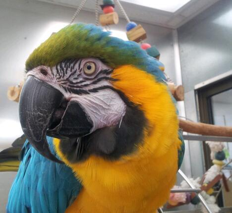 Maxine Macaw of Laconia Pet Center