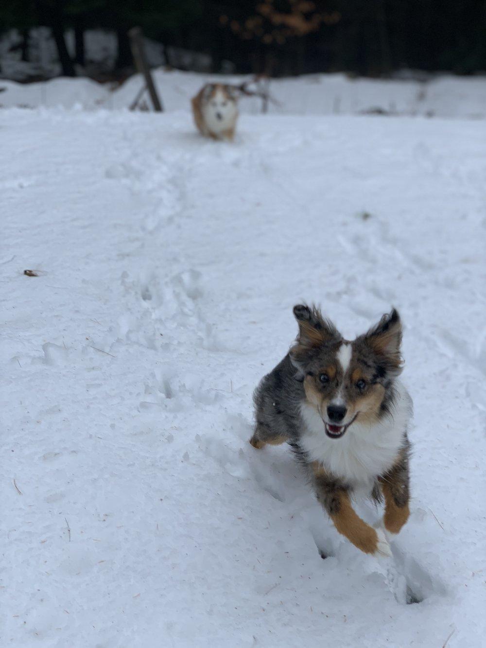 Mini Australian Shepherd of Gilford, NH in the snow