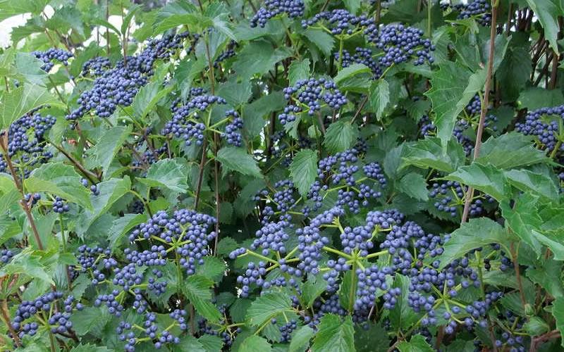 Blue-Muffin-Viburnum-Berries.jpg