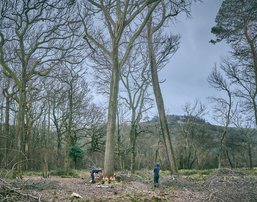felling an oak tree