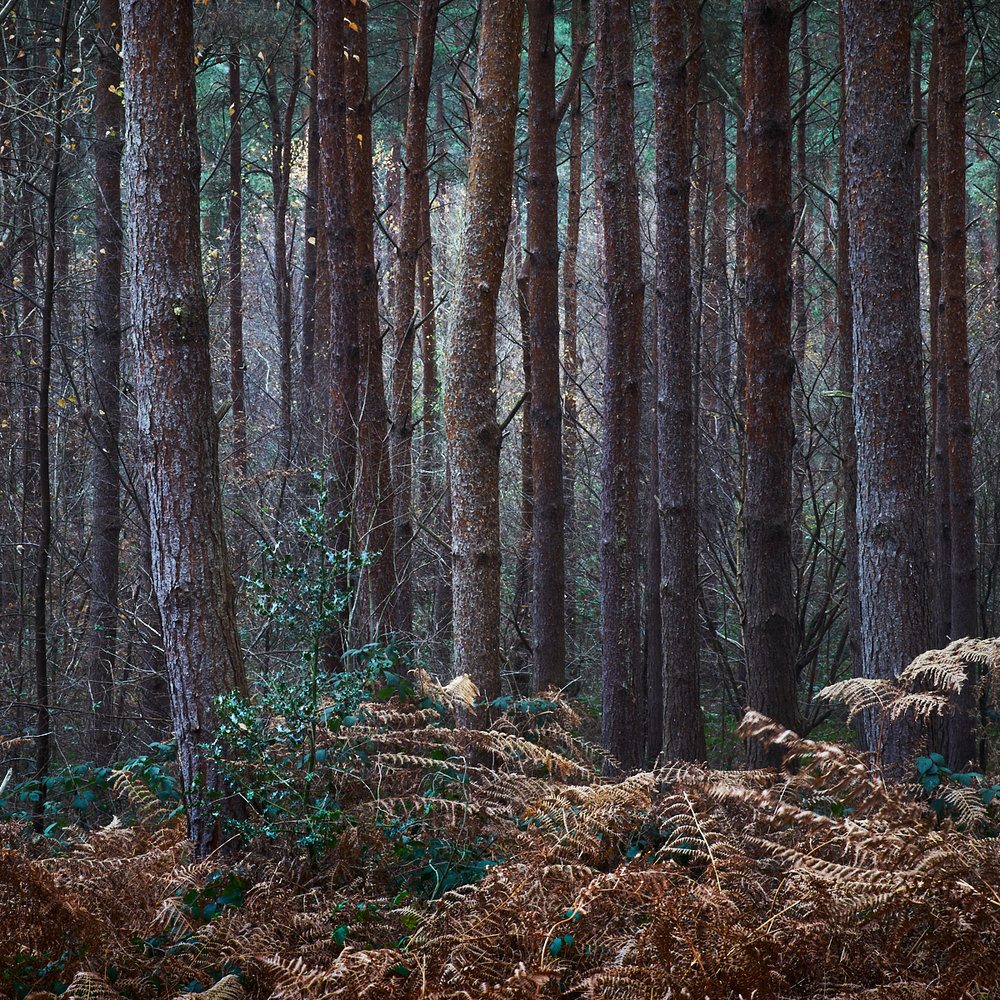 Conifers, Frenchlands Wood