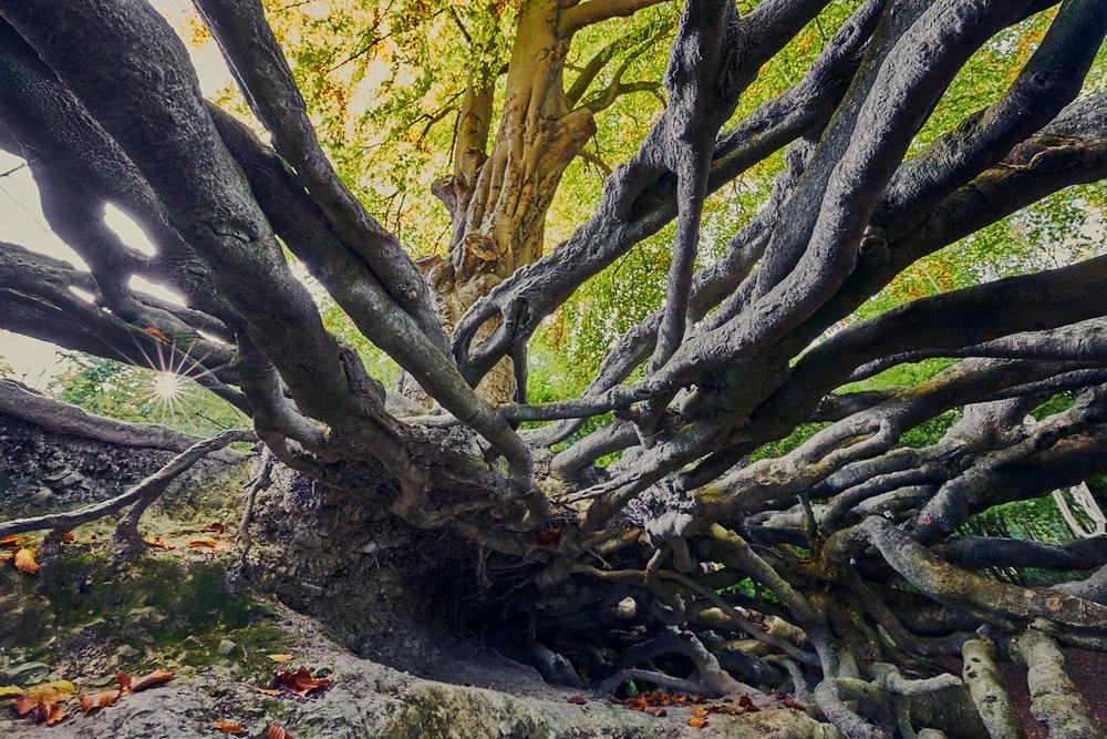 Beech Roots