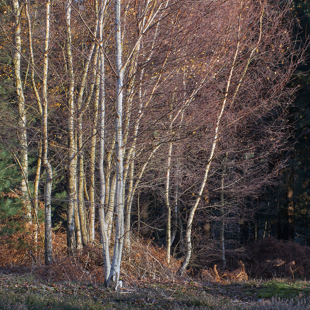 Birch Stems, Autumn
