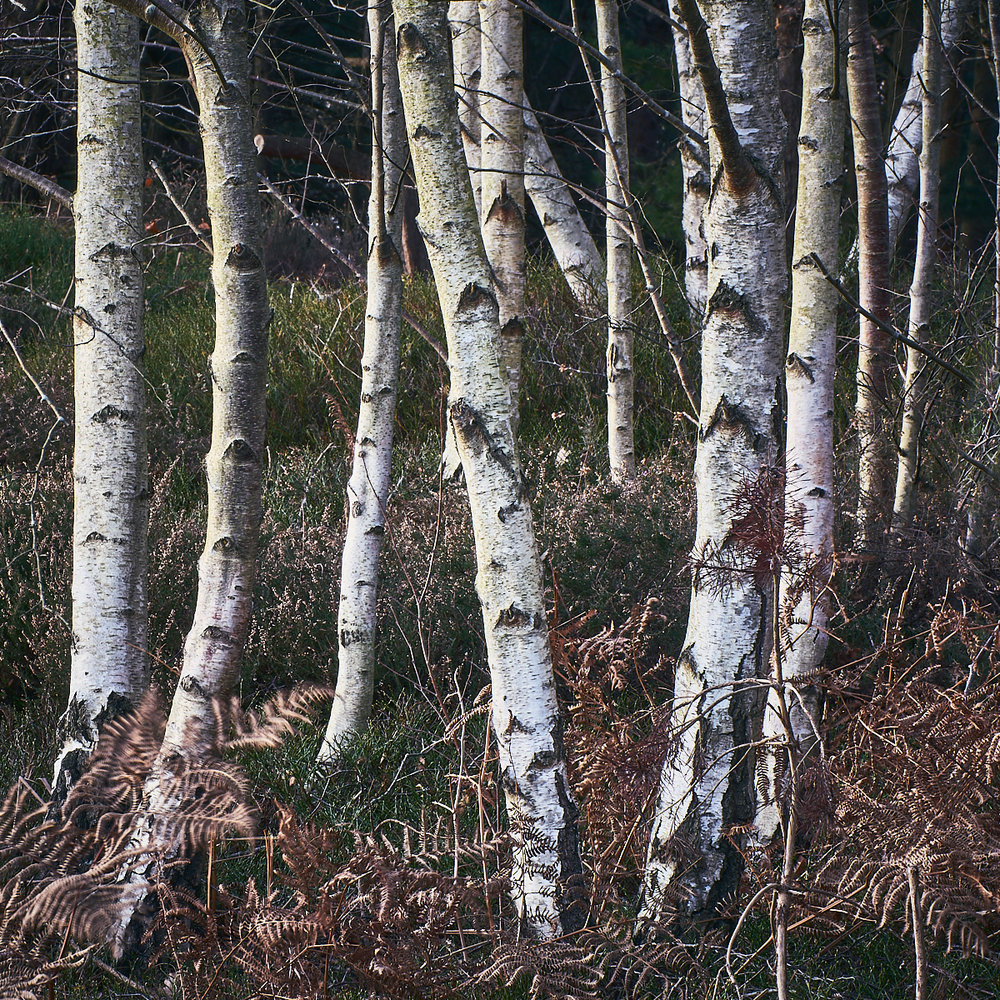 Silver Birch stems