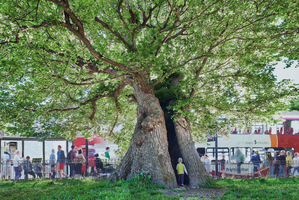 Giant English Elm, Brighton
