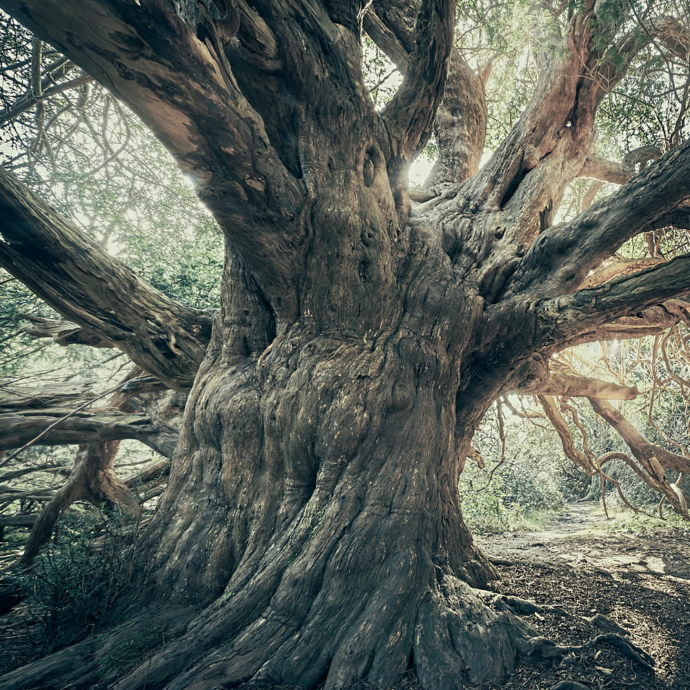 Ancient Yew 2
