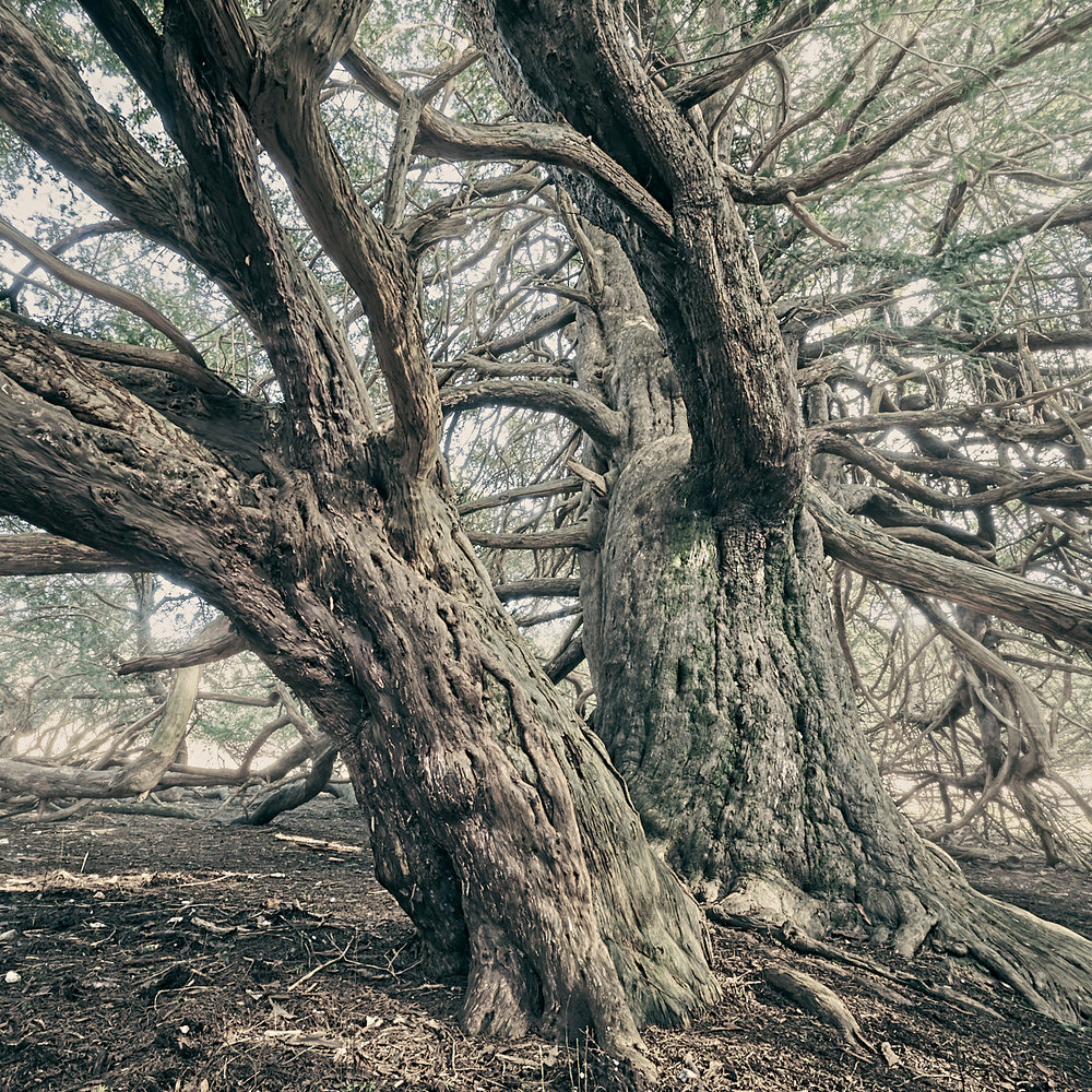 Ancient Yew 1