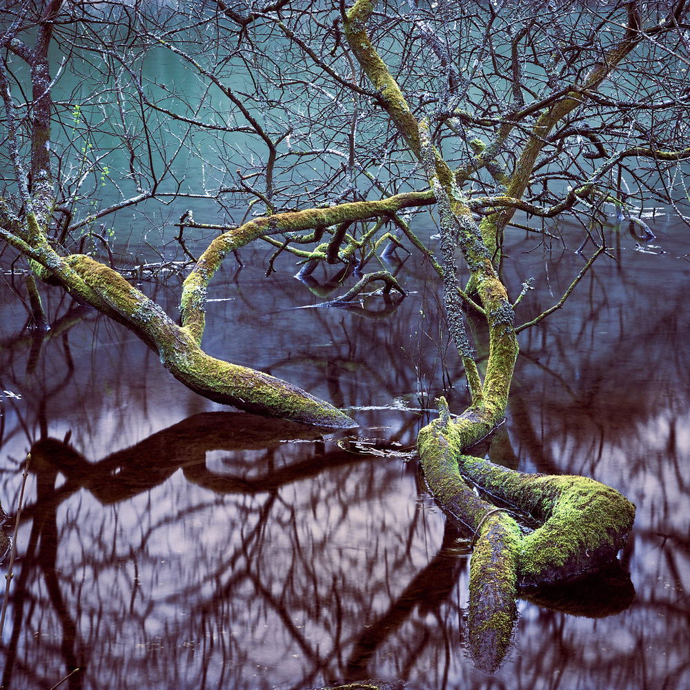 Submerged sallow tree
