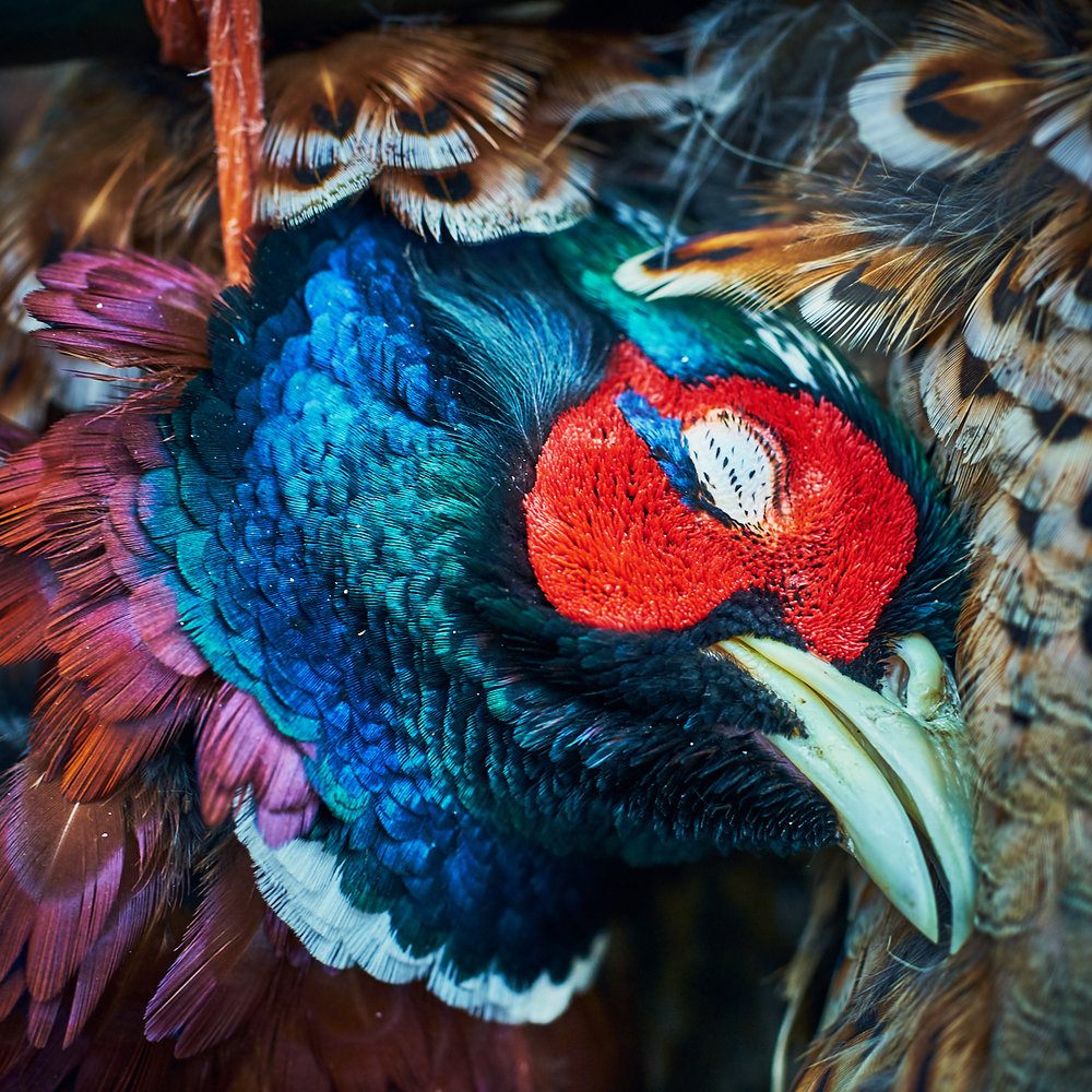 Pheasant, detail