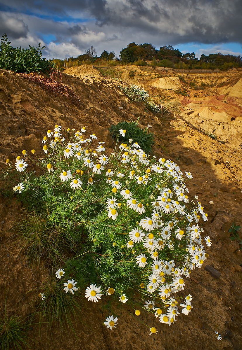 Mayweed, Rock Common sandpit