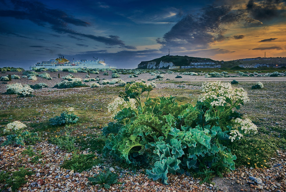 Flowering sea kale, Newhaven