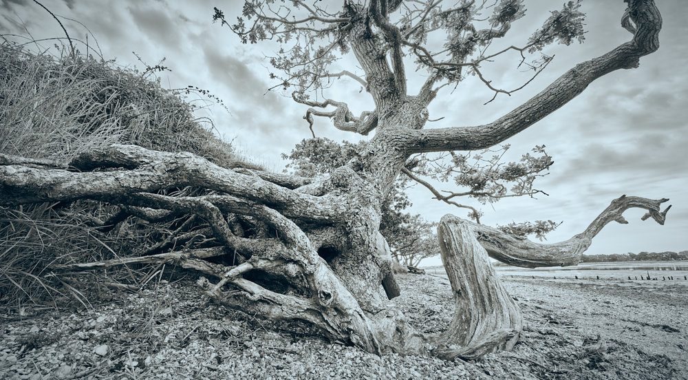 Twisted Oak, Cobnor Point