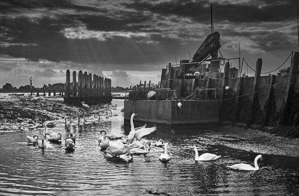 Swans, Bosham