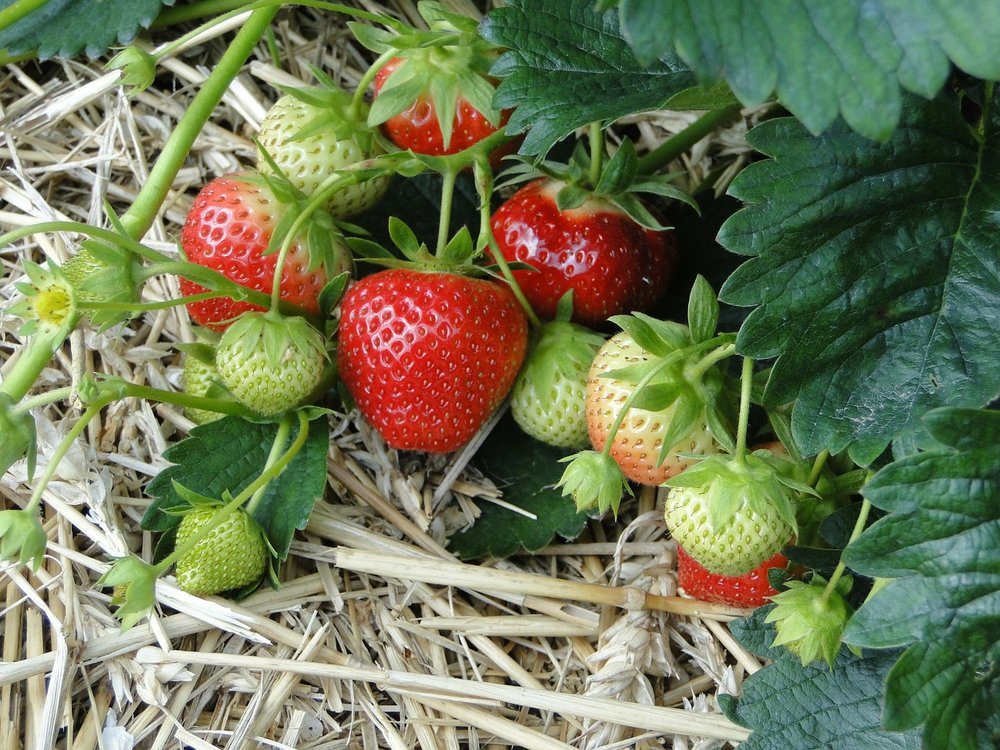 strawberries-196798_1280.jpg