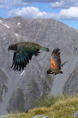 Kea,  Nestor notabilis , with their distinctive jade and orange plumage.