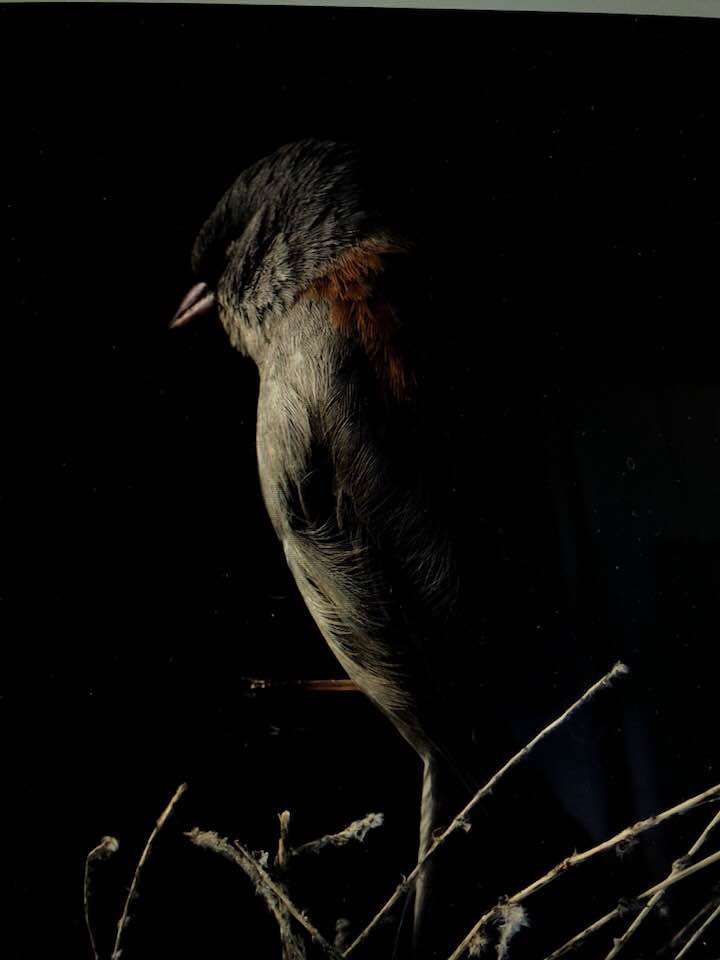 DARK EYED JUNCO X    2018, digital print numbered, signed, edition of four