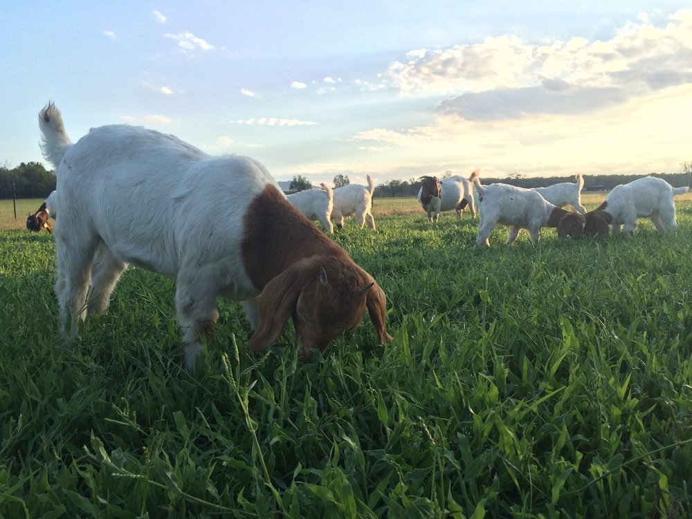 Berkeley Farm Boer Goats are raised on lush pasture, with many acres to roam.